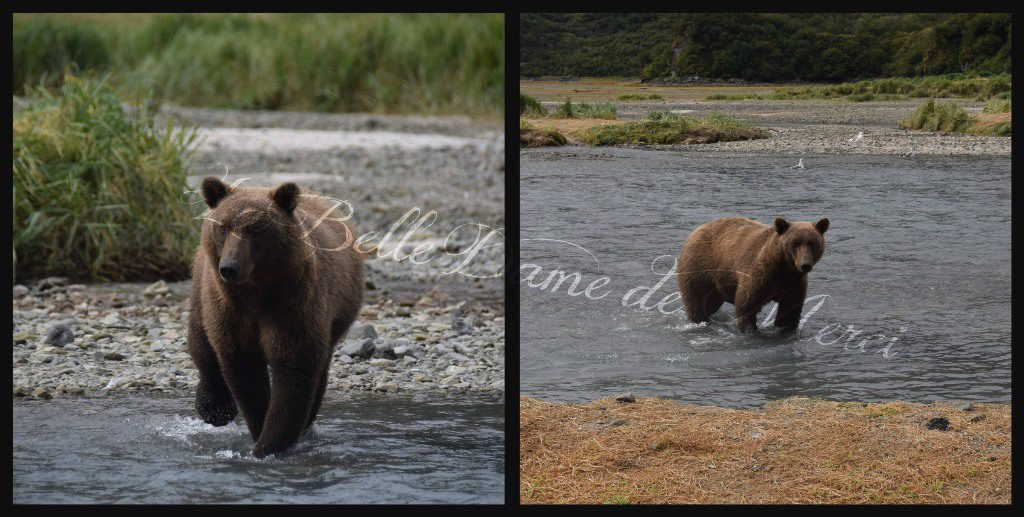 Brown bears on the loose in Katmai National Park. Photo courtesy Michelle Gill.