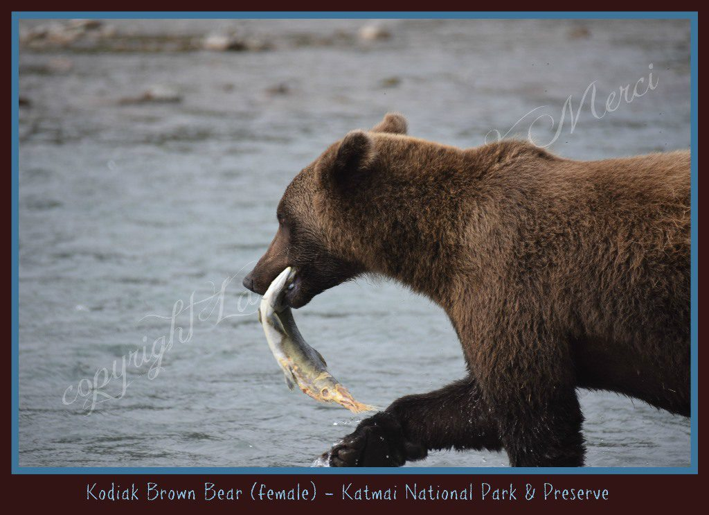 """I ended up standing about 61/2 to 7 feet from a Kodiak Grizzly."" Michelle Gill."